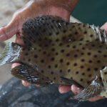 Mengenal Lebih Dekat dengan Ikan Kerapu Bebek