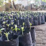 Mengenal Tanaman Indonesia #Gaharu