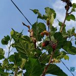Mulberry, Buah Pinggiran yang Bikin Awet Muda