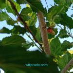 Cara Budidaya Mulberry, Tanaman Yang Kaya Manfaat